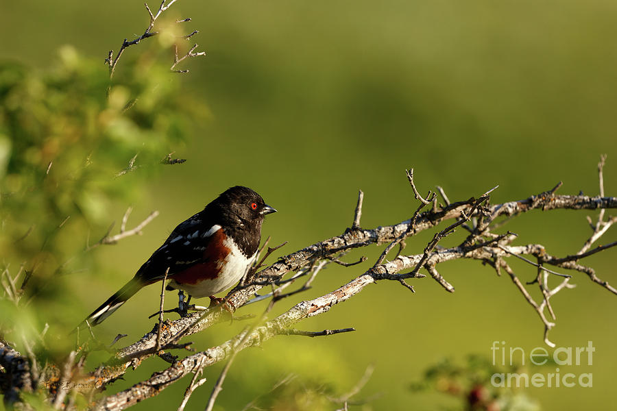 Spotted Towhee by Beve Brown-Clark Photography