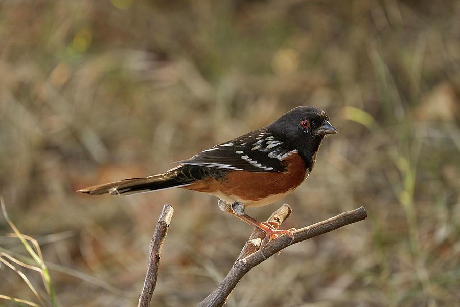 Birds Photograph - Spotted Towhee, Sacramento County California by Doug Herr