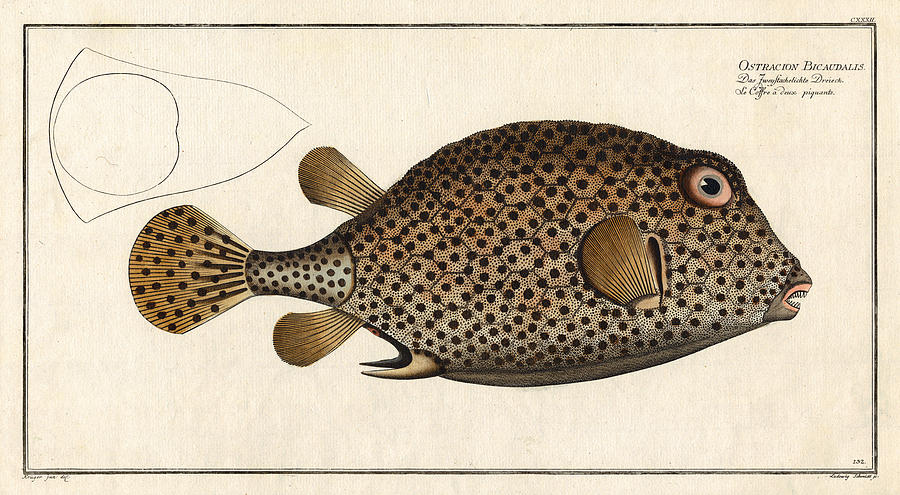 Fish Digital Art - Spotted Trunk Fish  by Antique Images