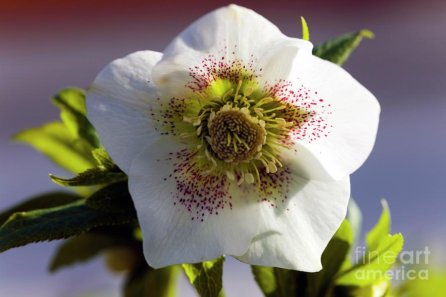 Hellebore Photograph - Spotted White Hellebore Hybrid Flower by Dr Keith Wheeler/science Photo Library