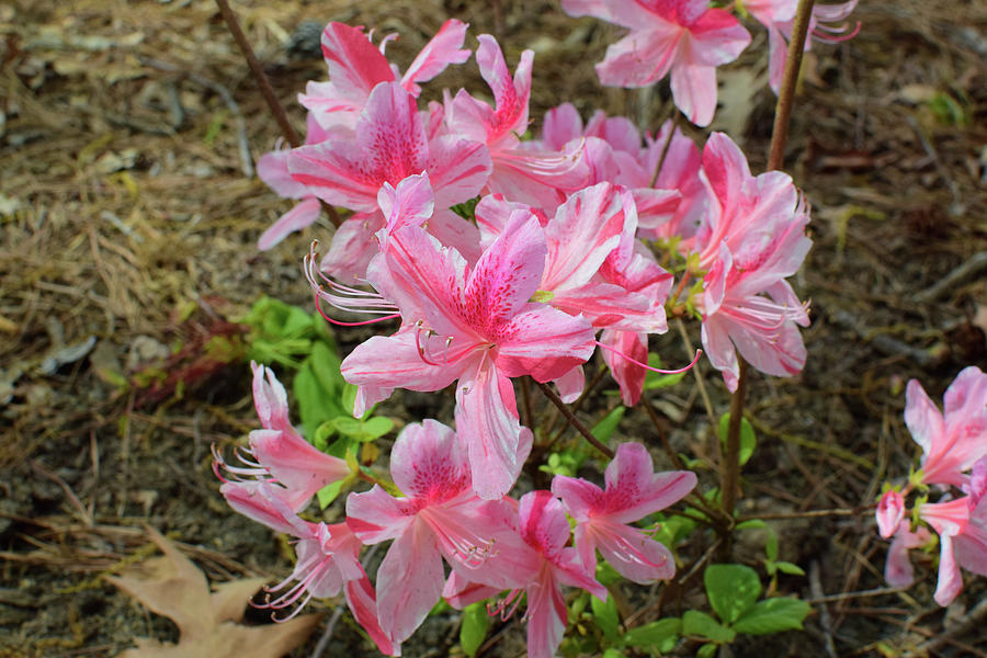 Spring Azaleas in Pink by Nicole Lloyd