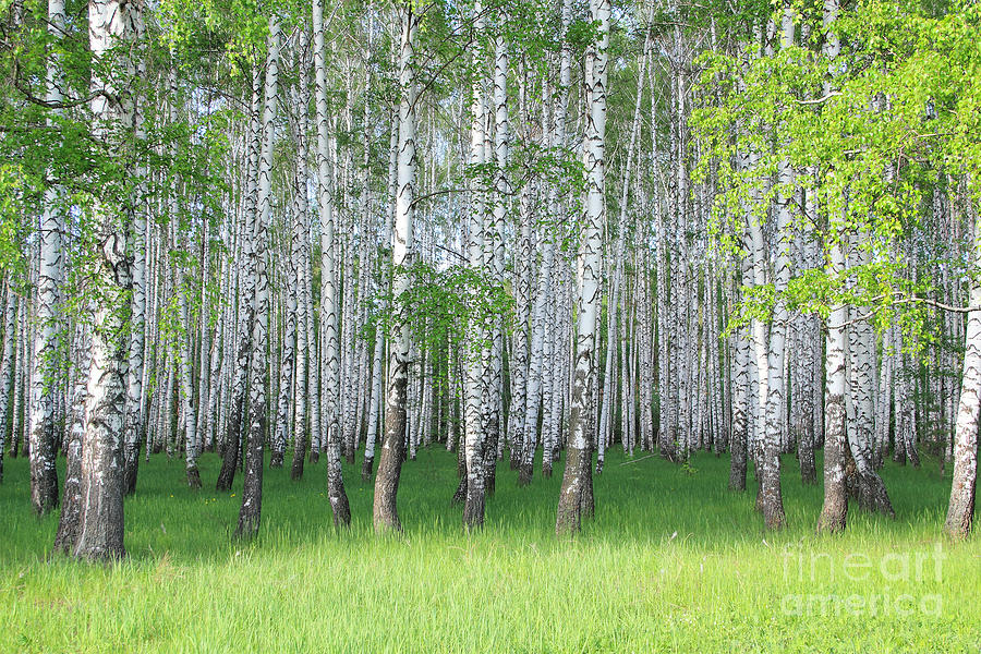 Forest Photograph - Spring Birch Grove by Kirillov Alexey
