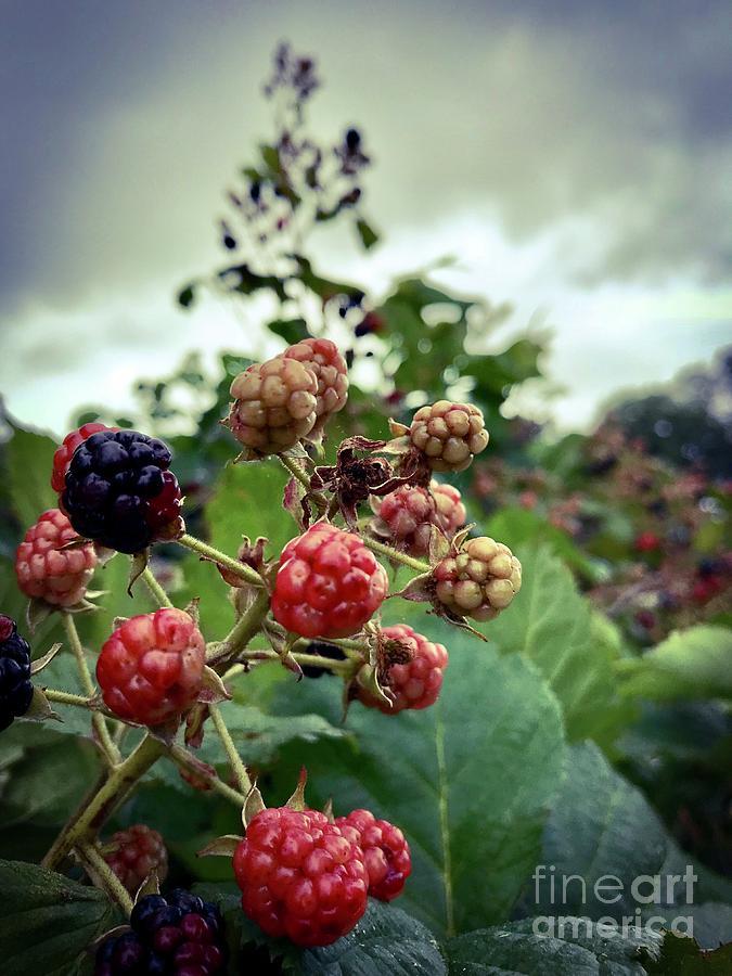 Early Summer Blackberries Photograph by JMerrickMedia
