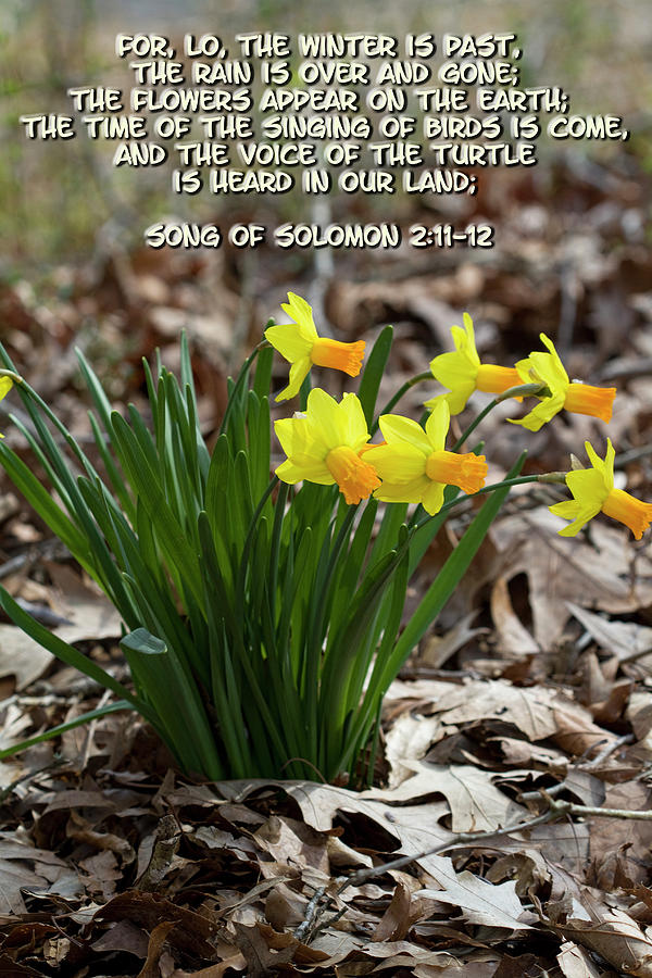 Spring Blooming Daffodils and Song of Solomon Winter is Past  by Kathy Clark