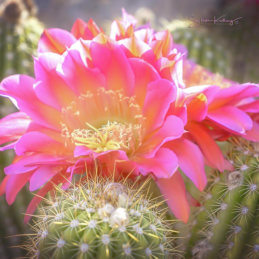 Spring Cactus Bloom by Steve Kelley