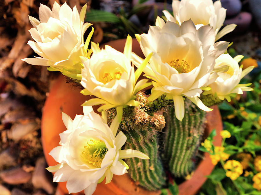 Spring Cactus Blooms by Dominic Piperata