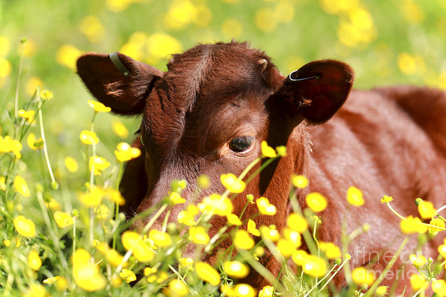 Spring Calf by Rachel Morrison