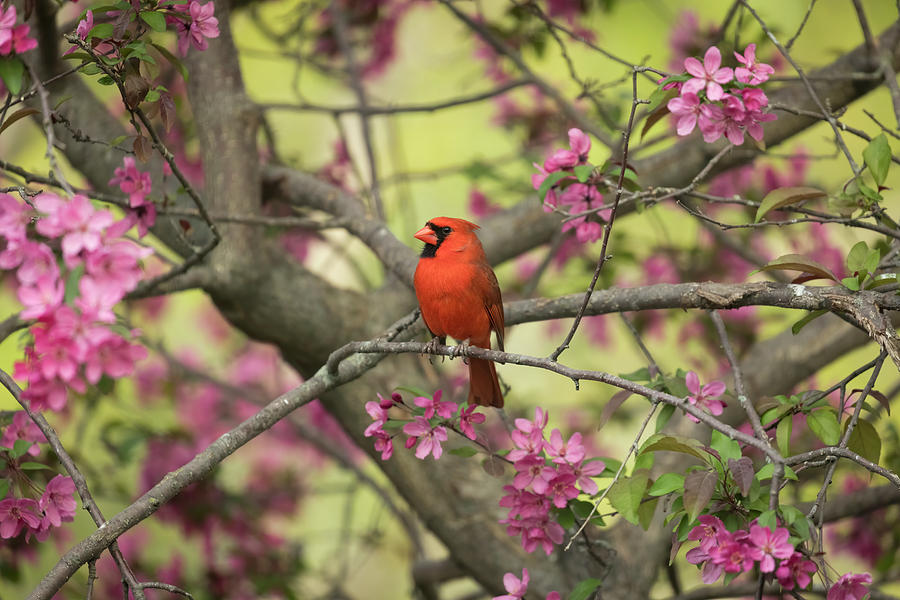 Spring Cardinal by Scott Bean