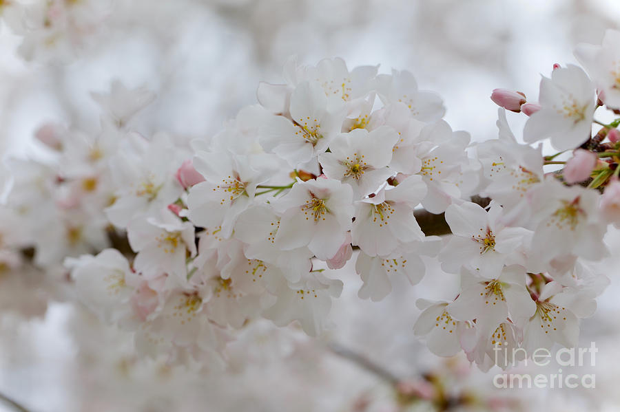 Spring Cherry Blossoms by Rachel Morrison