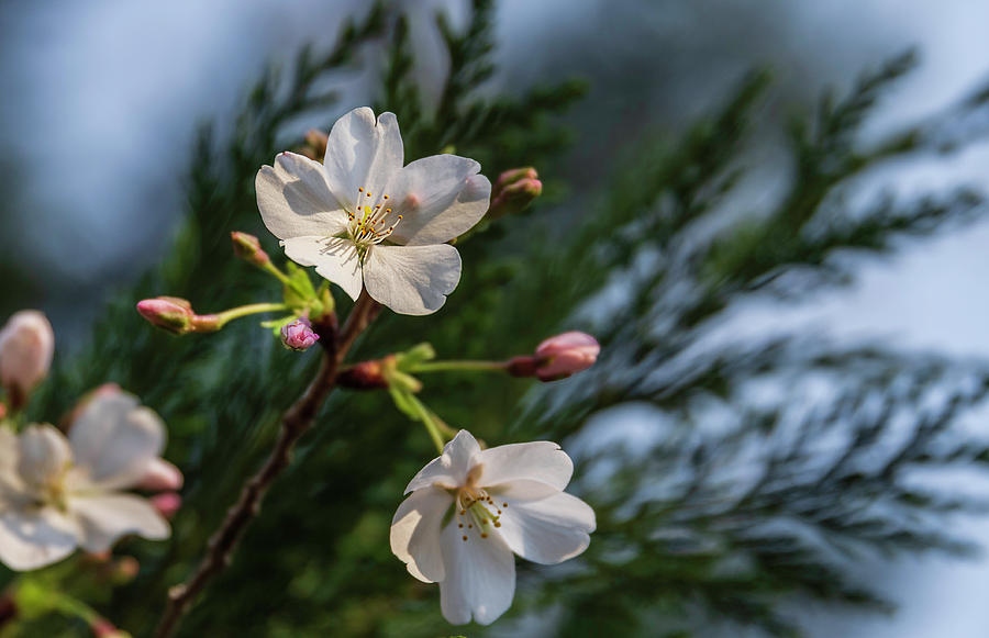 Spring Cherry Flowers by Keith Smith