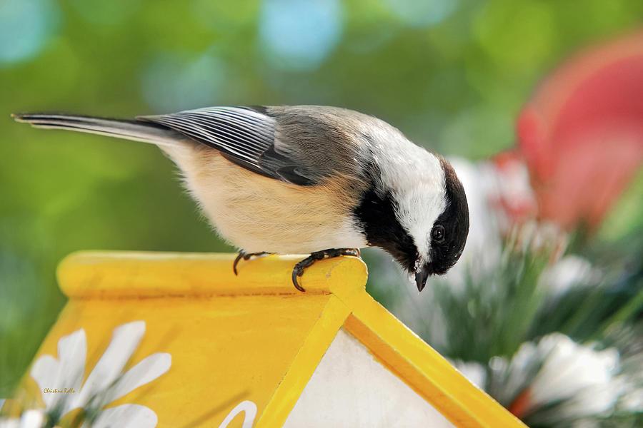 Chickadee Photograph - Spring Chickadee by Christina Rollo