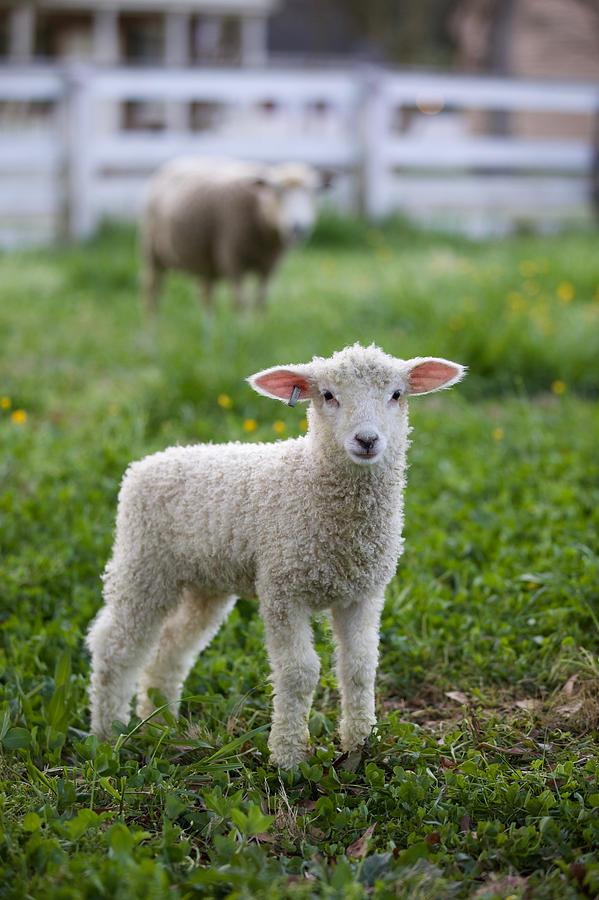 Spring Colonial Lamb by Rachel Morrison