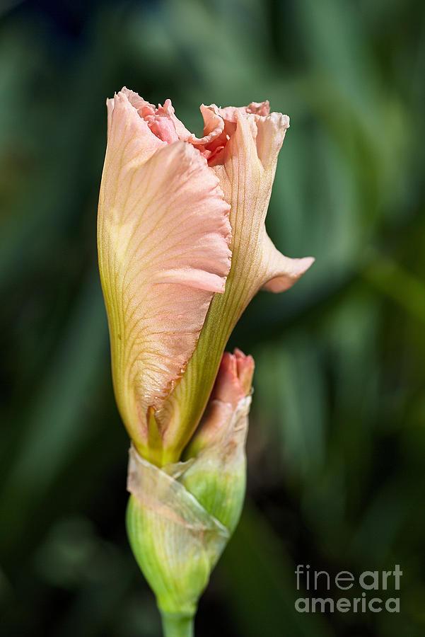 Spring Coral Iris by Joy Watson