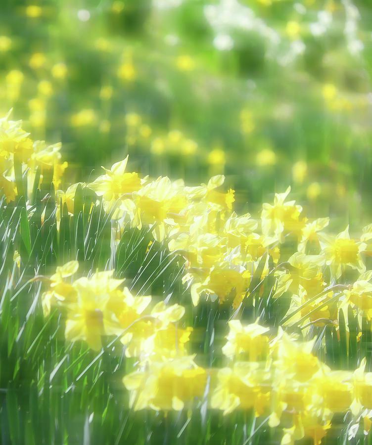 Daffodils Photograph - Spring Daffodils by Kenneth Krolikowski