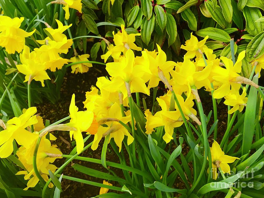 Spring Daffodils by Suzanne Lorenz