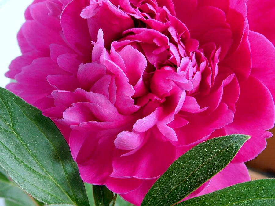 Flower Photograph - Spring Dahlia by Arlane Crump