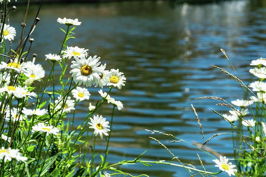 Spring Daisy by Dave Matchett