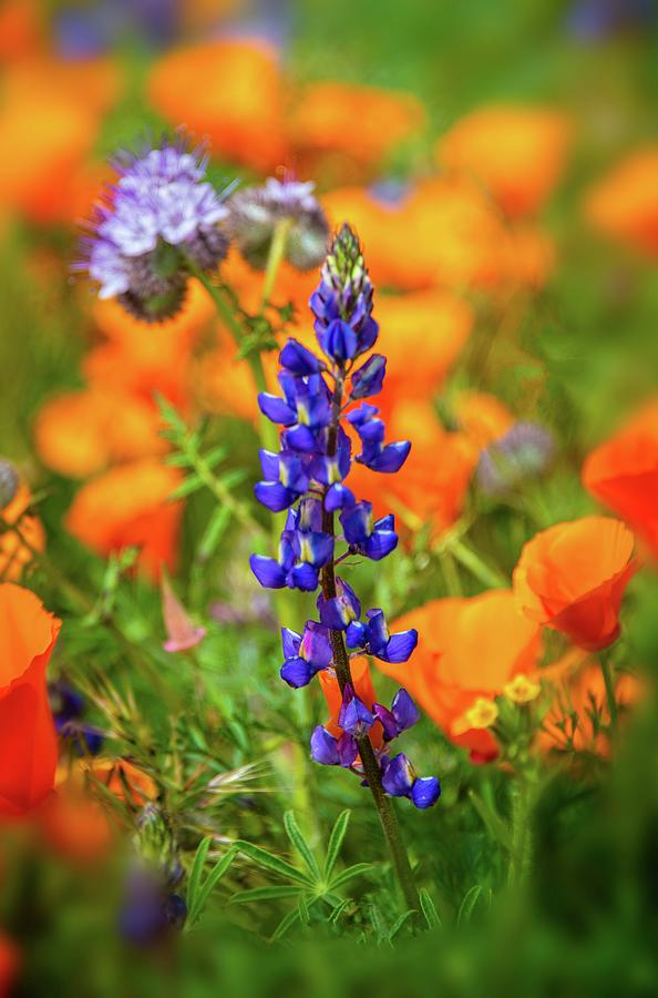 Wildflowers Photograph - Spring Delight - Superbloom 2019 by Lynn Bauer