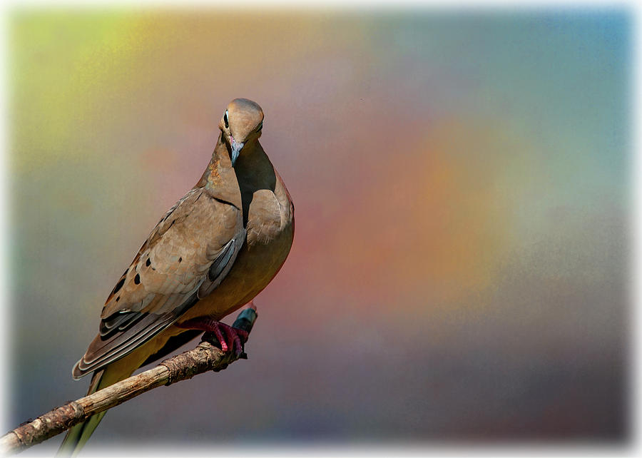 Spring Dove by Cathy Kovarik