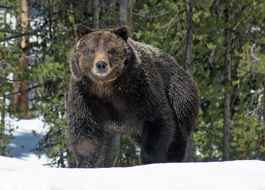 Spring Grizzly Bear in Yellowstone National Park 02 by Bruce Gourley