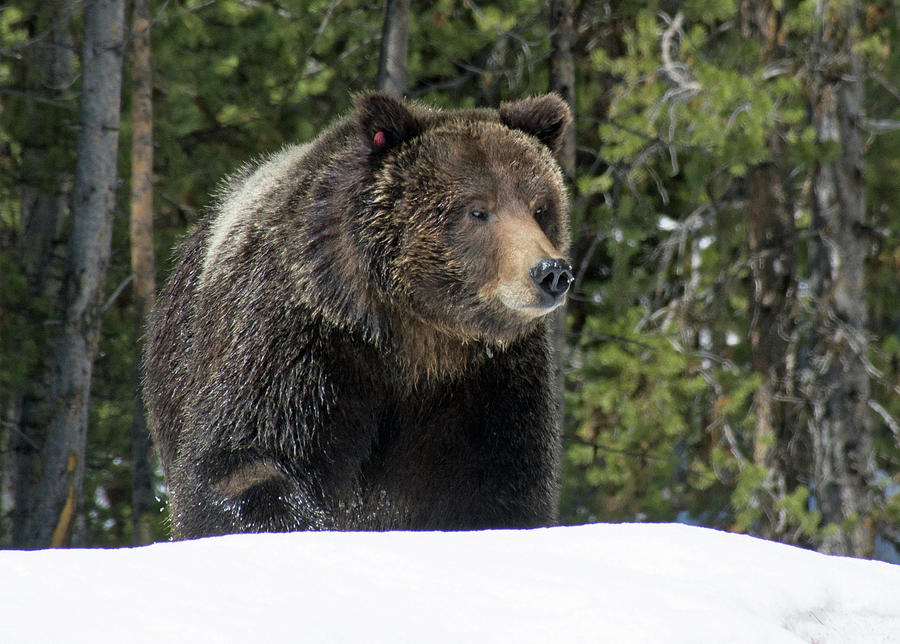 Spring Grizzly Bear in Yellowstone National Park by Bruce Gourley