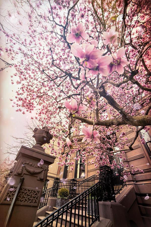Spring in Boston - Magnolia Tree by Joann Vitali