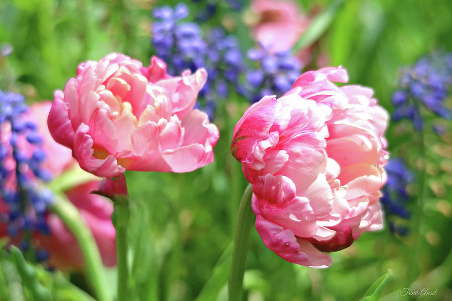 Spring Isn't Spring Without Tulips by Trina Ansel