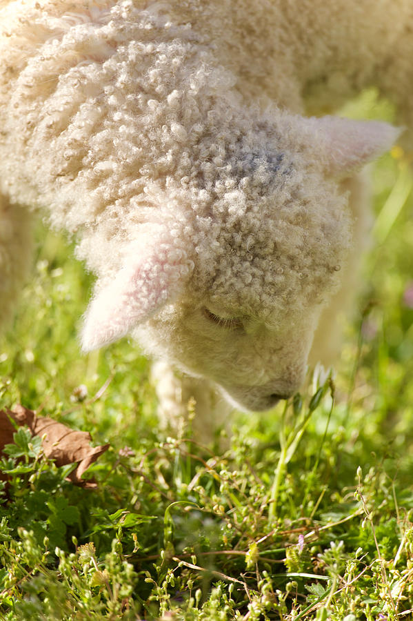 Spring Lamb in a Meadow by Rachel Morrison