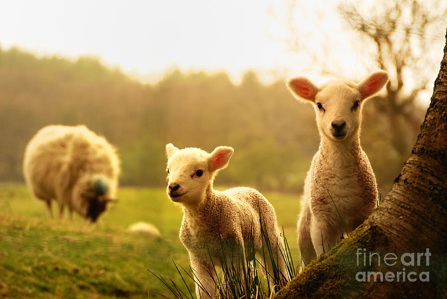 Tree Photograph - Spring Lambs by Drew Rawcliffe