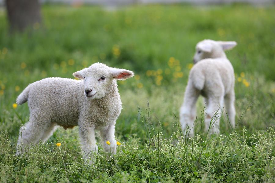 Spring Lambs in Colonial Williamsburg by Rachel Morrison