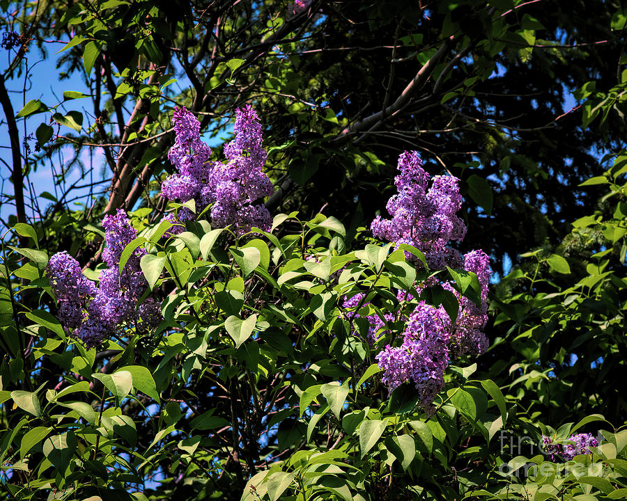 Spring Lilacs by Jon Burch Photography
