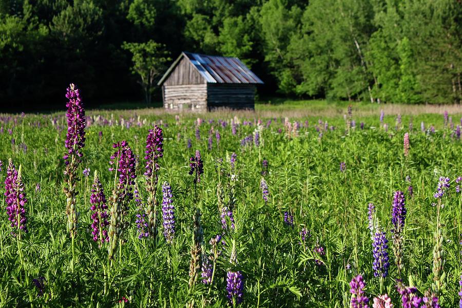 Spring Lupine Barn by Brook Burling