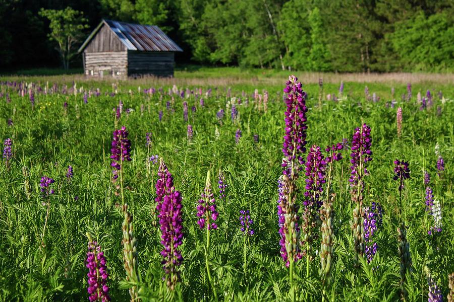 Spring Lupine Farm by Brook Burling
