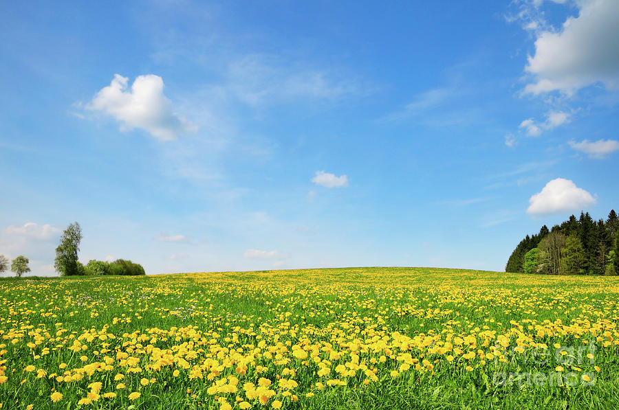 Spring meadow in the hillside with lush green grass and yellow dandelion blossoms by Ulrich Wende