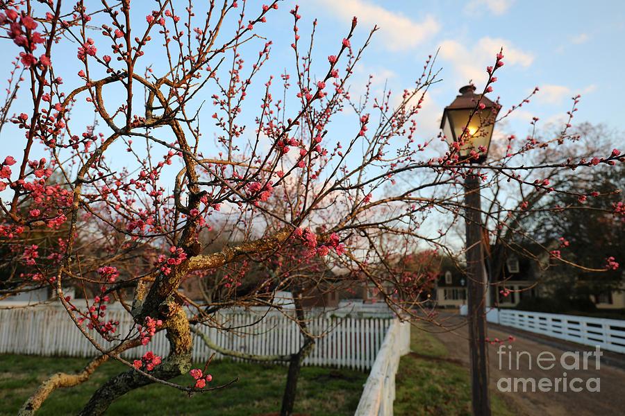 Spring Morning Blossoms by Rachel Morrison