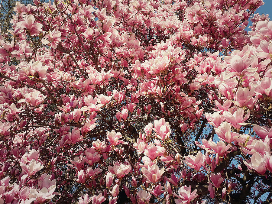 Spring Pink Magnolia Flower Cluster Blossoms On The Branches In
