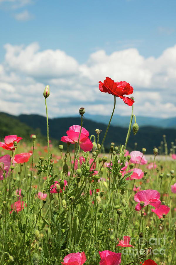 Spring Poppies in the Mountains by Lisa Lemmons-Powers