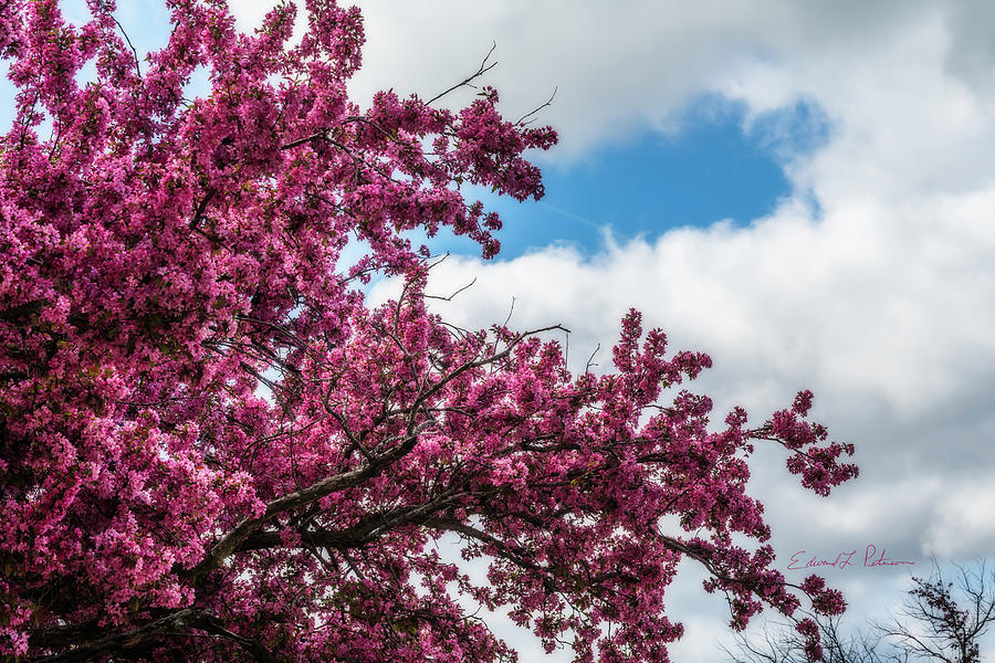 Spring Redbud Color by Edward Peterson