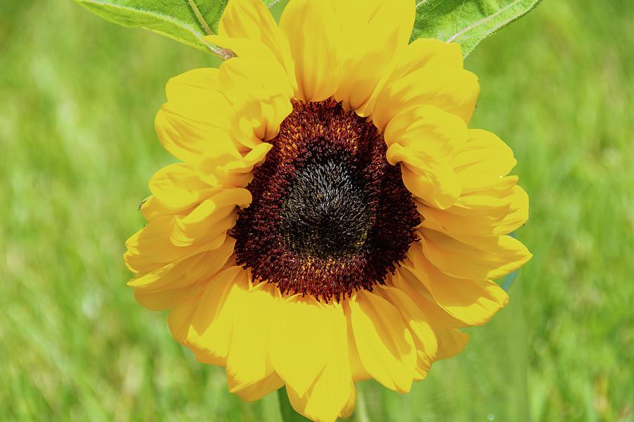 Spring Sunflower by Jennifer Wick