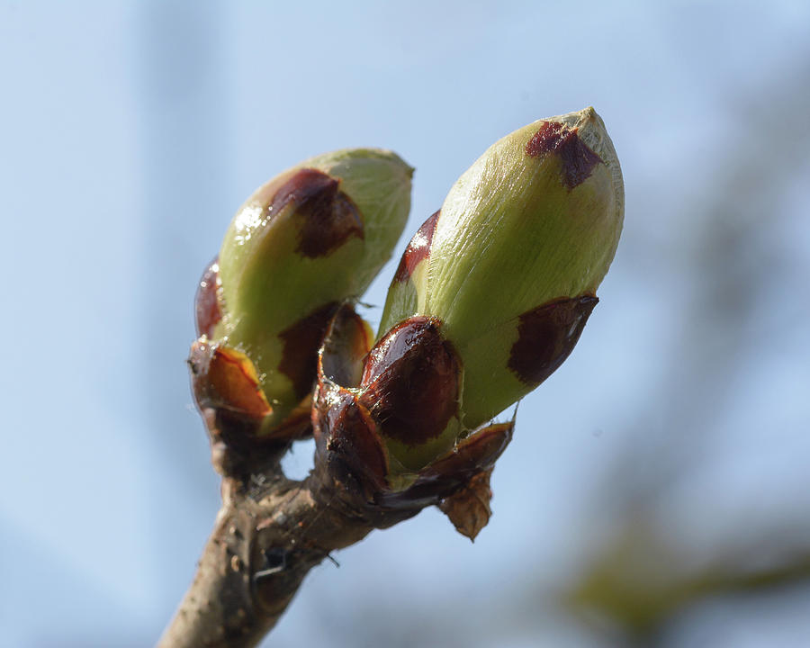 Spring Tree Buds Opening C by Jacek Wojnarowski