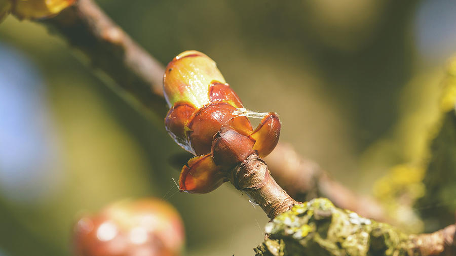 Spring Tree Buds Opening H by Jacek Wojnarowski