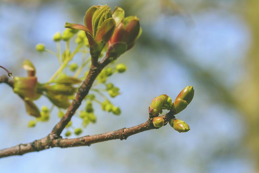 Spring Tree Buds Opening K by Jacek Wojnarowski
