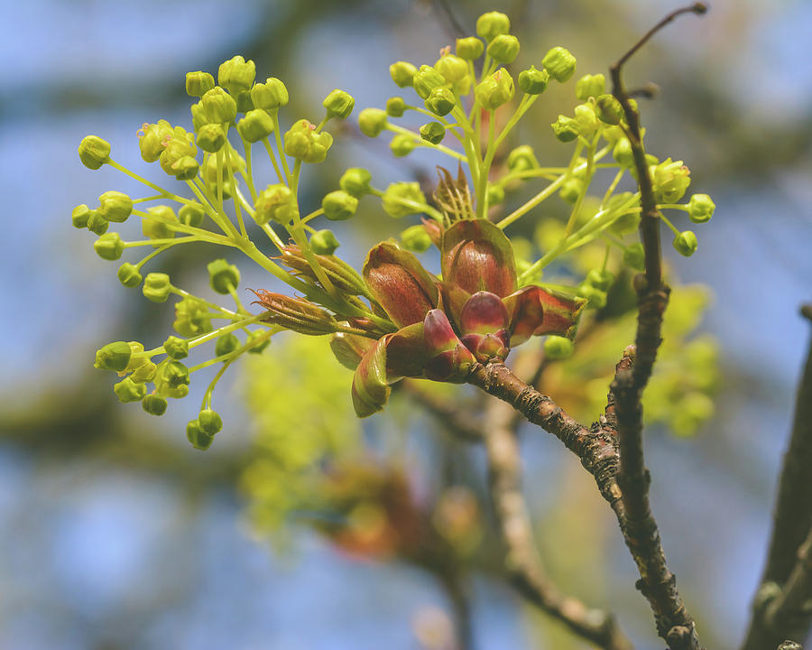 Spring Tree Buds Opening N by Jacek Wojnarowski