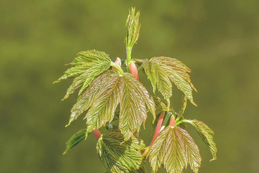 Spring Tree Buds Opening P by Jacek Wojnarowski