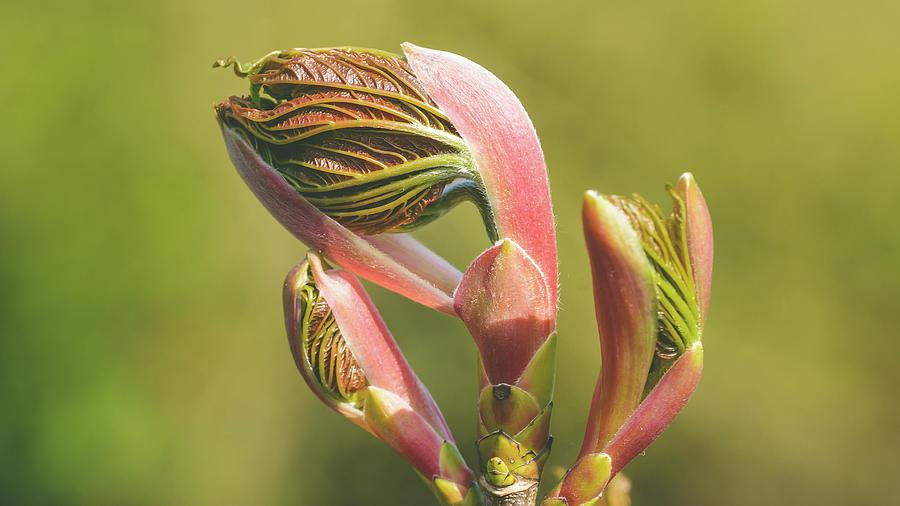 Spring Tree Buds Opening Q by Jacek Wojnarowski