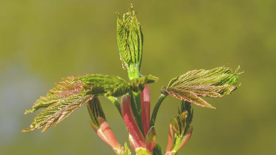 Spring Tree Buds Opening T by Jacek Wojnarowski