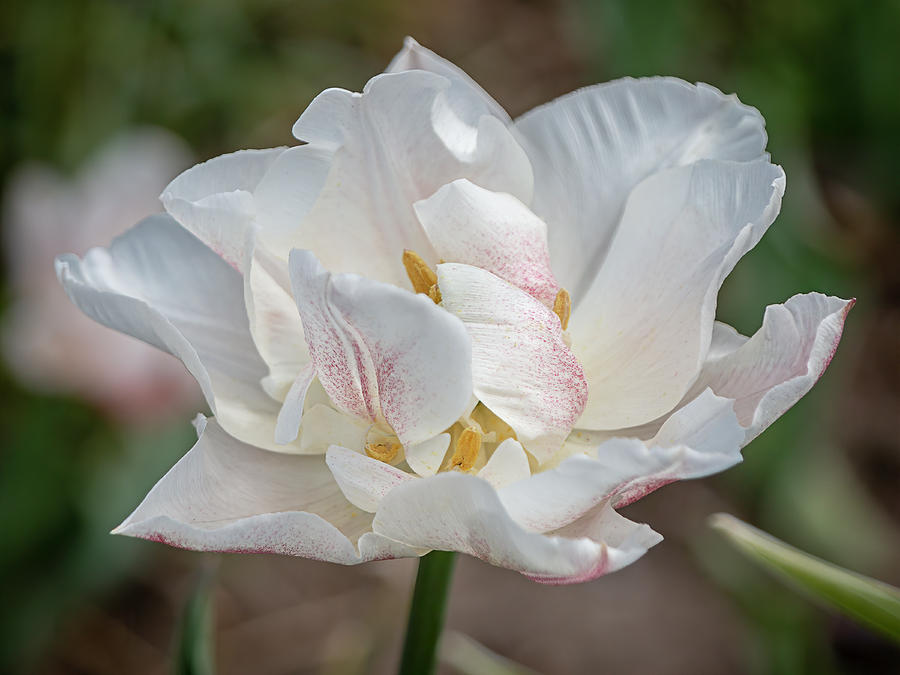 Spring Tulip 1724 by TL Wilson Photography by Teresa Wilson