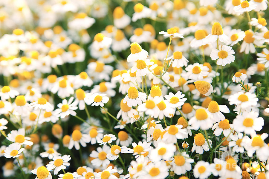 Beauty Photograph - Spring White Daisy Flowers In Nature In by Katerina Planina