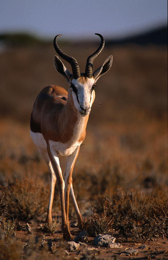Springbok, Kgalagadi Transfrontier Park Photograph by Lonely Planet