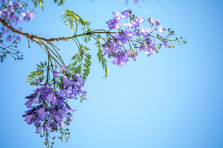 Jacaranda Tree Photograph - Springtime Beauty by Az Jackson